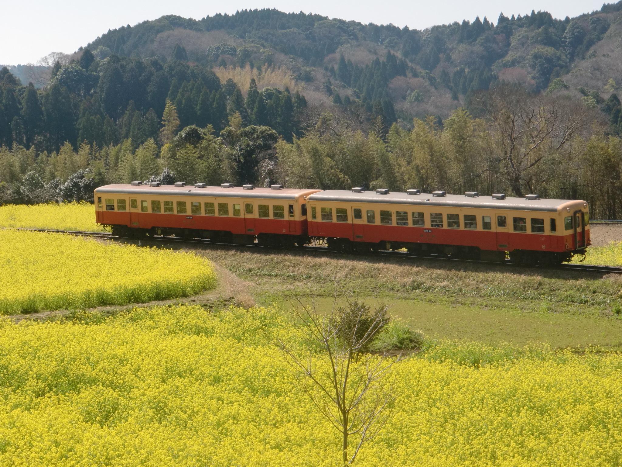 小湊鉄道 菜の花 列車