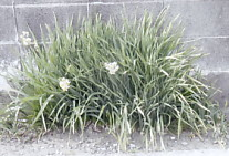 三つ編みの草1