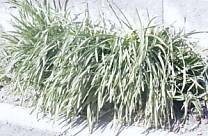三つ編みの草2