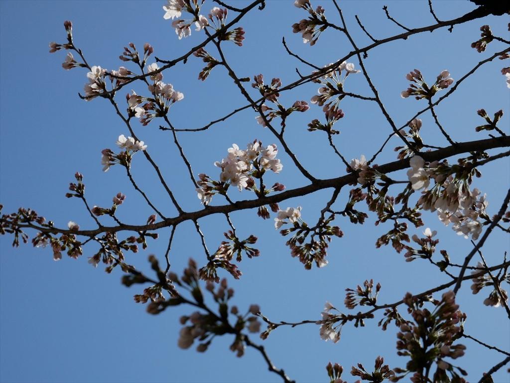ソメイヨシノの開花_昼の様子_2