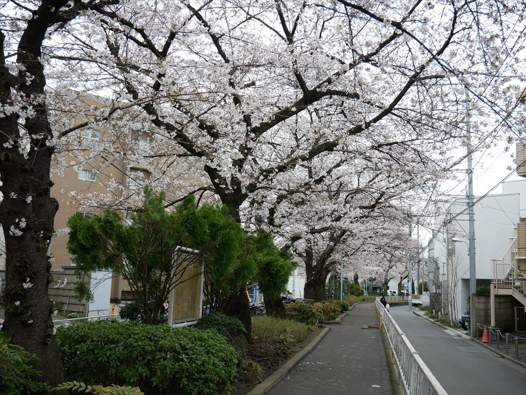 出がけに撮った呑川遊歩道の桜_1