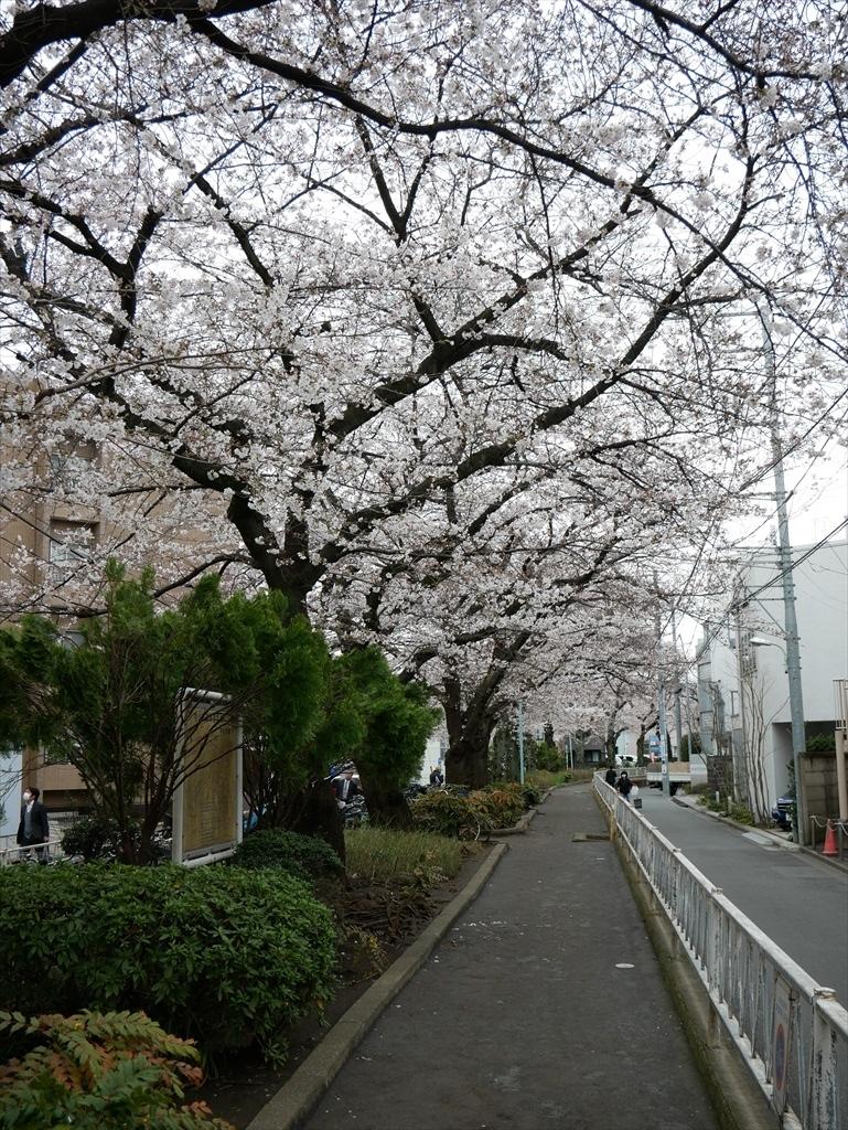 出がけに撮った呑川遊歩道の桜_2