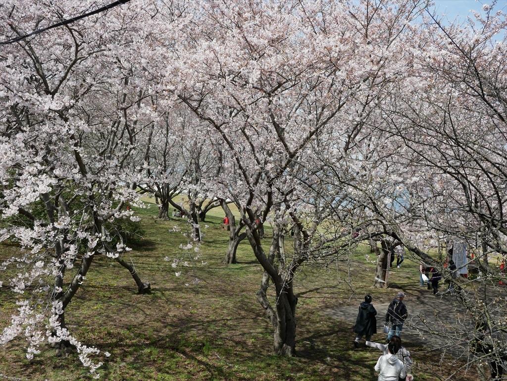 道路から見下ろした桜_1
