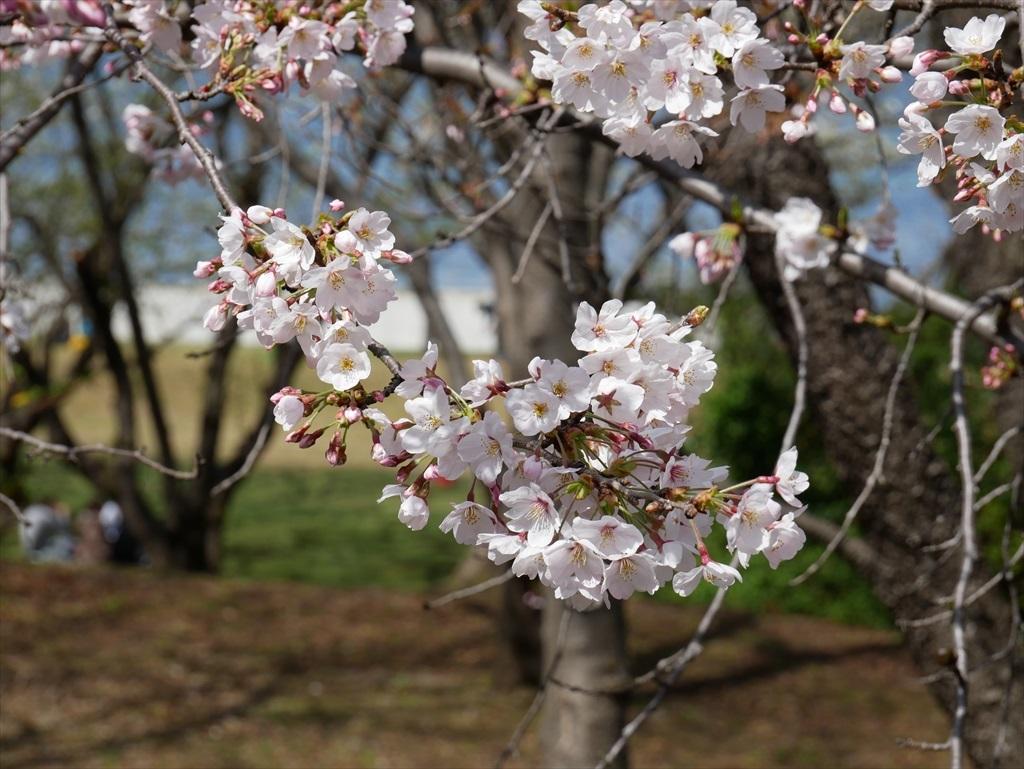 道路から見下ろした桜_2