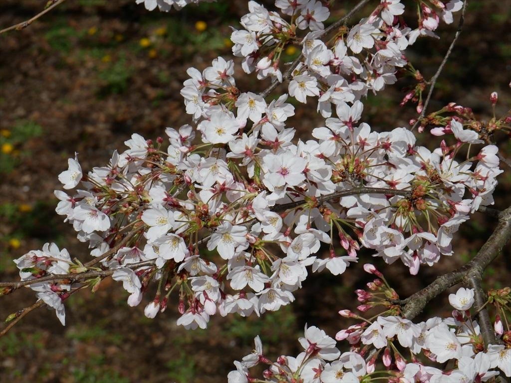 道路から見下ろした桜_3