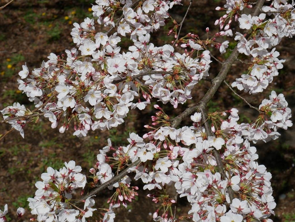 道路から見下ろした桜_4