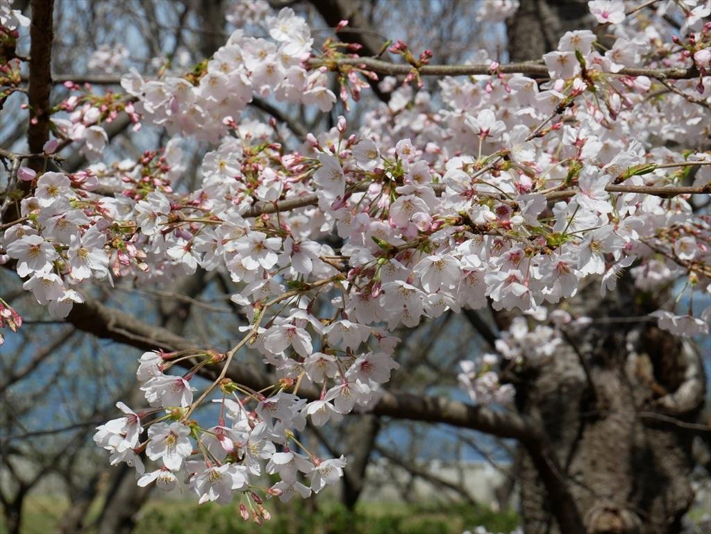 道路から見下ろした桜_5
