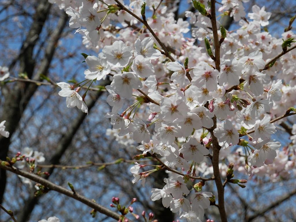 道路から見下ろした桜_6