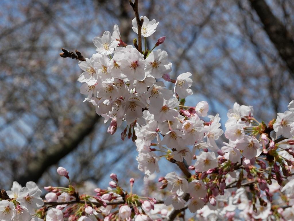 道路から見下ろした桜_7
