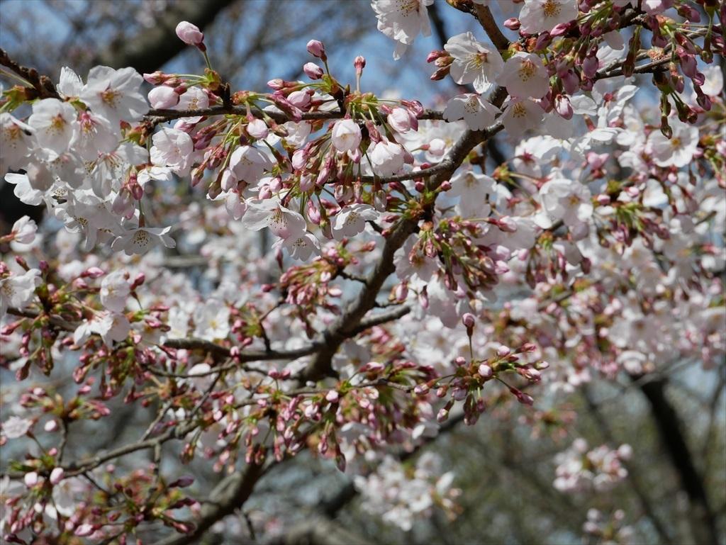 道路から見下ろした桜_8