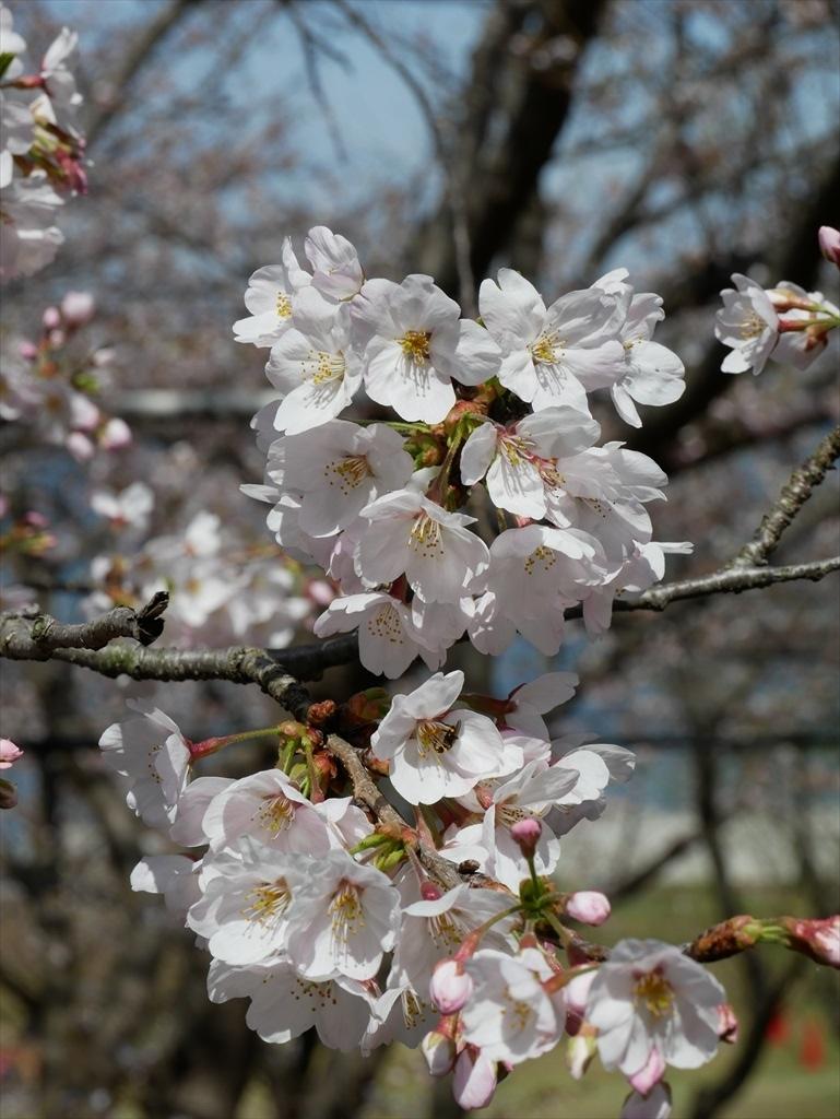道路から見下ろした桜_10