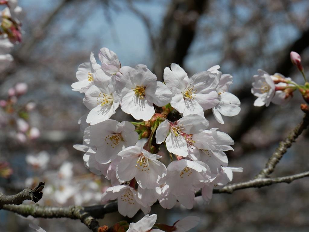 道路から見下ろした桜_11