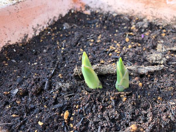 ギボウシ芽出てきたよ