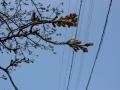 180325玉川の桜、ふくらむつぼみも