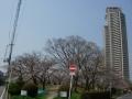 180325お花見も始まる中央公園の桜