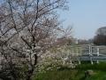 180325開花の進む船橋川の桜