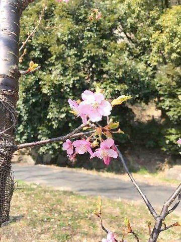 弘前城桜1