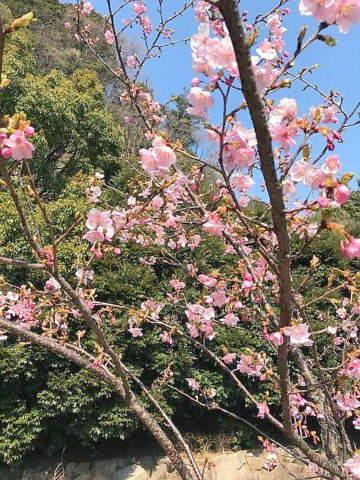 弘前城桜2