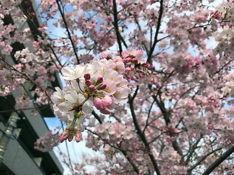 大岡川桜5