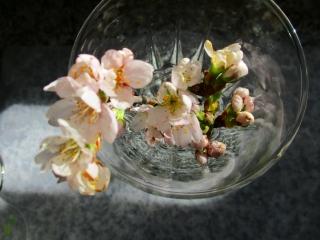 おうち桜2