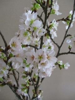 おうち桜4