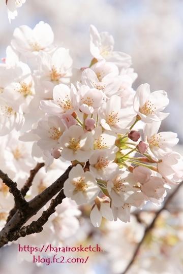 桜201803-11