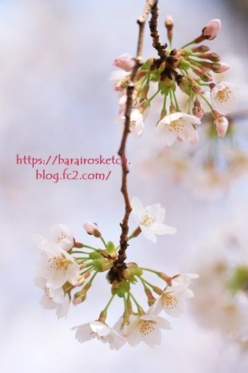 桜201803-15