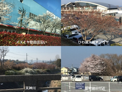 堅田〜雄琴のサクラ(18/03/28)