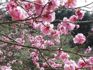 石山寺の梅