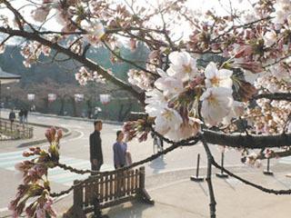 チラホラ咲き始めた彦根城のサクラ