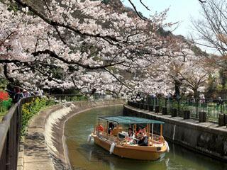 満開の桜のトンネルを抜ける琵琶湖粗相観光船