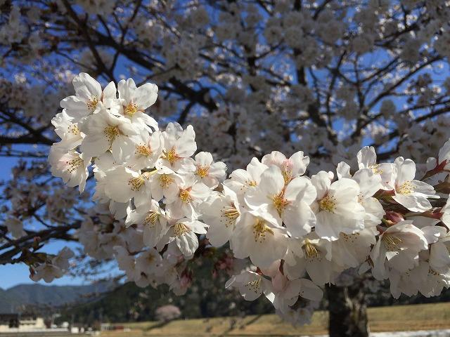 桜180324①