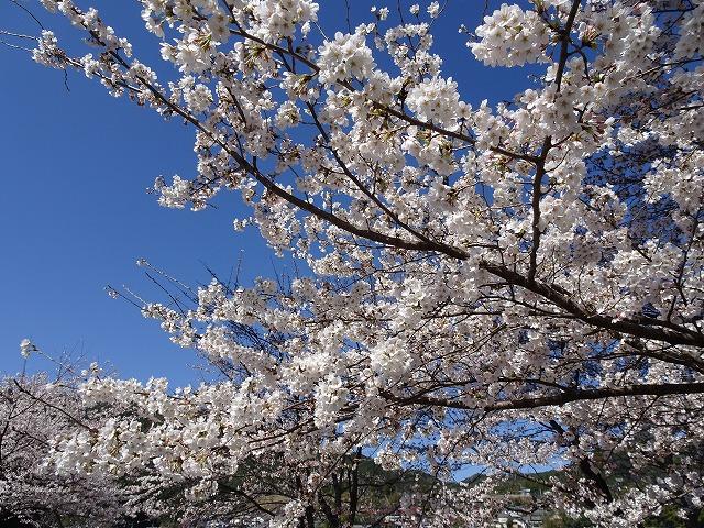桜180324③