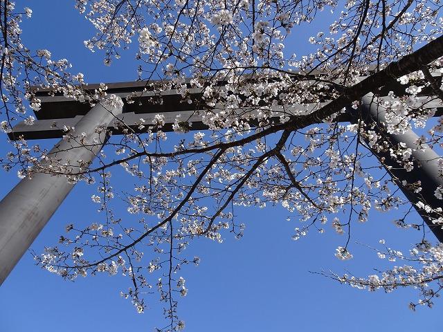 桜180324④