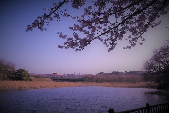 2018三浦海岸桜(2)
