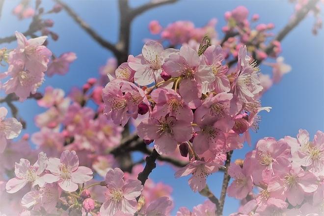 2018三浦海岸の桜アップ写真(1)