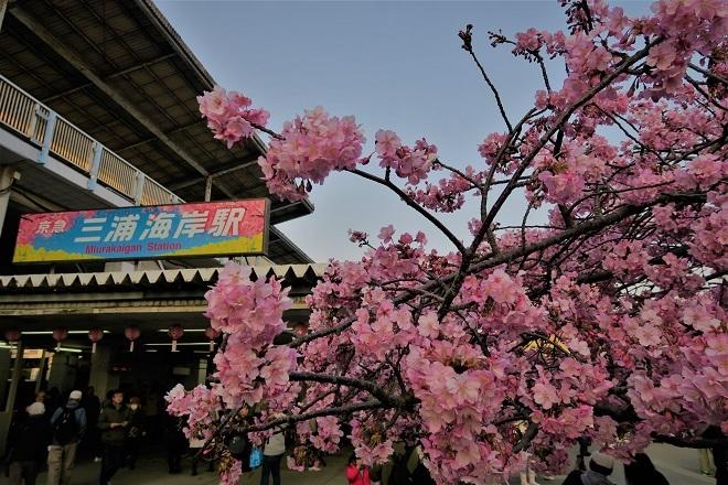 2018三浦海岸駅前の桜(1)