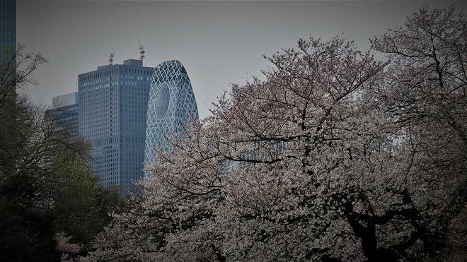 2018新宿御苑の桜(1)