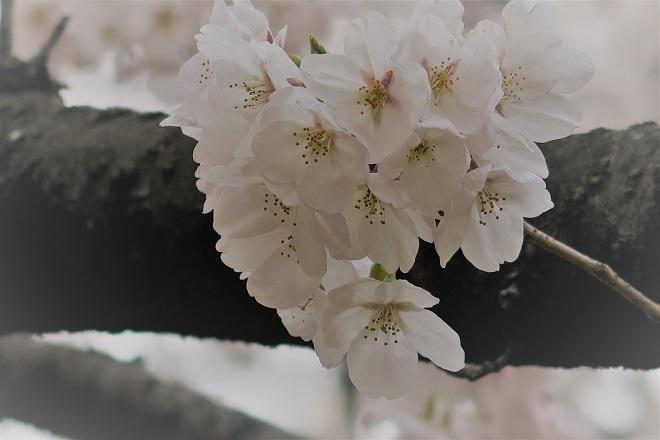 2018新宿御苑の桜(10)
