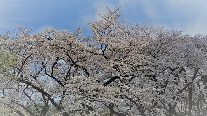 2018新宿御苑の桜(3)