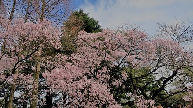2018新宿御苑の桜(4)