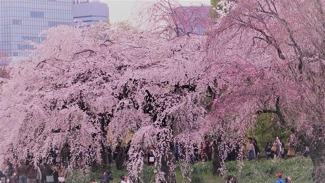 2018新宿御苑の桜(6)