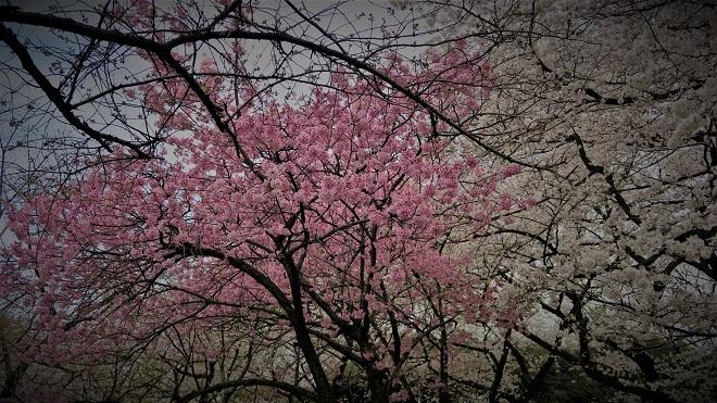 2018新宿御苑の桜(7)