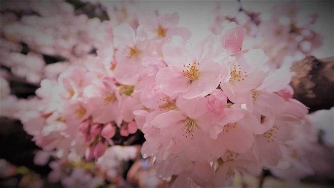 2018新宿御苑の桜(9)