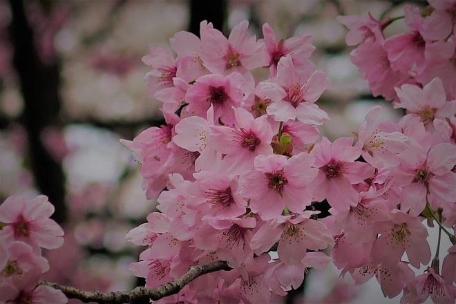 2018新宿御苑の桜(11)