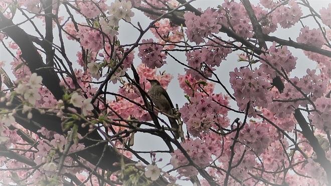 2018新宿御苑の桜(12)