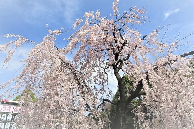 2018年 上野公園の桜(3)