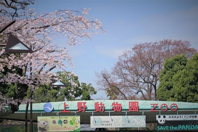2018年 上野公園の桜(4)