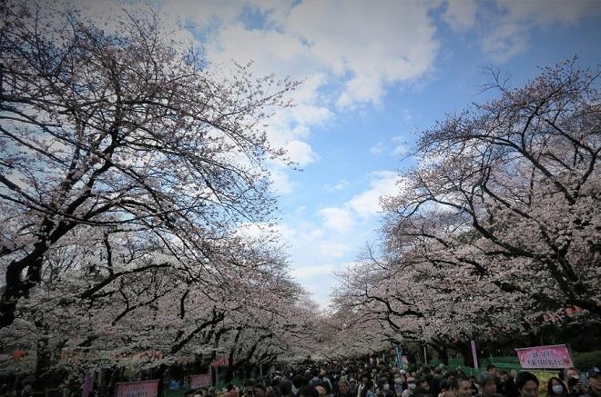 2018年 上野公園の桜(7)