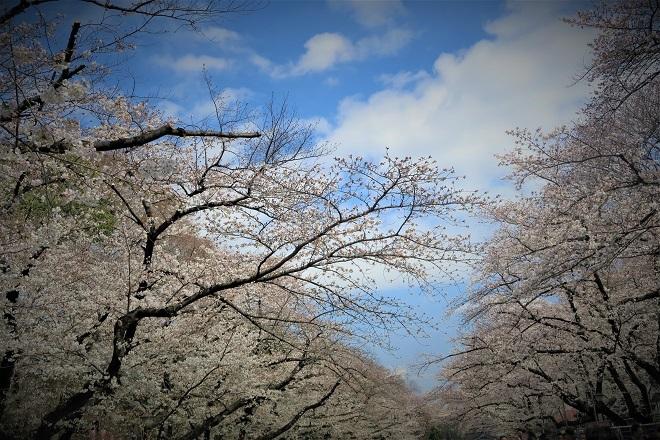 2018年 上野公園の桜(8)
